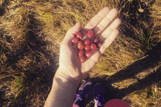 Picking rosehips.